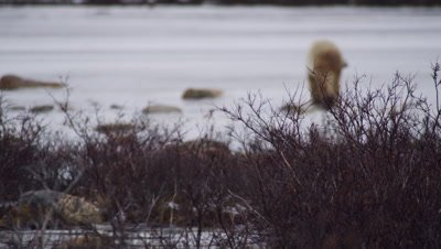Polar bear walks across frozen pond on blustery day.  Focus on leafless willows blowing in foreground, bear out of focus.  Bear leaves frame.  Med-Wide.
