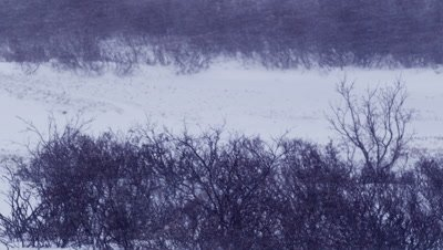 Tilt down across snowy landscape to reveal polar bear covered in freshly fallen snow sleeping in willows at edge of frozen pond during snowstorm.  Med.