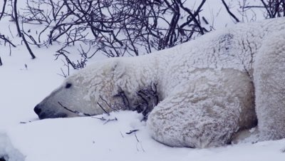 Polar bear covered in freshly fallen snow sleeps in snowy, leafless willows during snowstorm.  Tight.