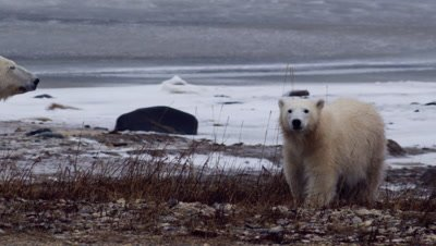 Polar bear yearling sits up next to its mother on rocky berm.  Med.  Slow Motion.