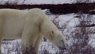 Hot from sparring, a male polar bear slides onto the snow on its belly and rubs on it to cool off.  Close.