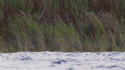 Male Kodiak brown bear walks through grasses on edge of lake .  Low angle shot.  Med.