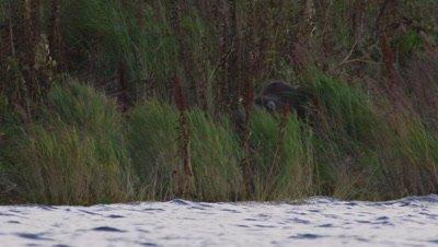 Male Kodiak brown bear walks through grasses on edge of lake .  Low angle shot.  Bear leaves frame. Med.