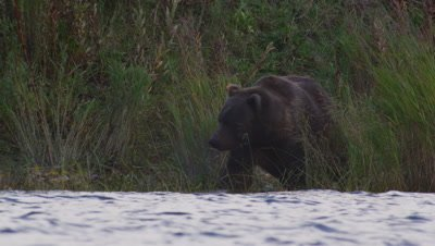 Male Kodiak brown bear walks through grasses on edge of lake.  Bear wades into lake, looking intent into the water for salmon. Low angle shot.  Med.