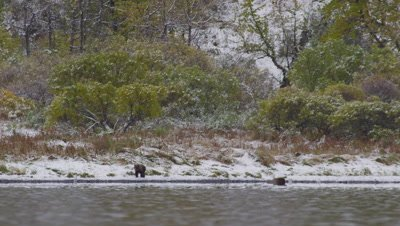 Kodiak brown bear cub stands on snowy shore and watches as it's mother swims in lake, looking for dead salmon on the bottom.  Green trees in the background.  Med-Wide.