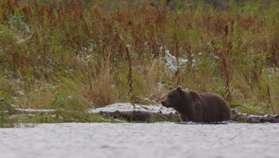 Kodiak brown bear wades through lake, looking for salmon.  Golden and green grasses with patches of snow in background.  Low Angle.  Med.