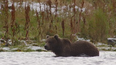 Kodiak brown bear wades through lake, looking for salmon.  Golden and green grasses with patches of snow in background.  Low Angle.  Slow Motion.  Bear leaves frame.  Med.