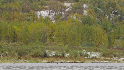 Kodiak brown bear walks along lakeshore.  Golden and green trees rise up on mountainside in background.  Patches of snow.  Wide.
