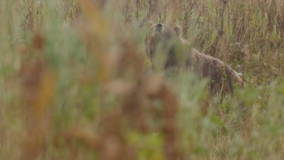 Kodiak brown bear and cub walk through tall green and golden grasses during snowstorm.  Med.  Slow Motion.  Bears are looking for and smelling for other bears.