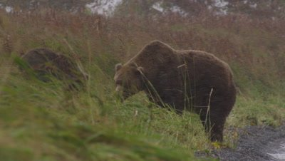 Kodiak brown bear and cub eat salmon in green grass on shore of lake during snowstorm. Bears finish eating and walk down shore, away from camera.  Med.