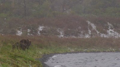 Kodiak brown bear and cub  walk down shoreline, away from camera during a snowstorm.  Seagulls wheel above and around them, swooping in to feed on scraps of salmon left on bank.  Med.