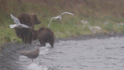 Kodiak brown bear and cub walk down a shoreline away from camera during snowstorm.  Focus on snow falling and water in the foreground.  Bears out of focus.  Mother bear turns and walks into lake. Slow Motion.  Med.