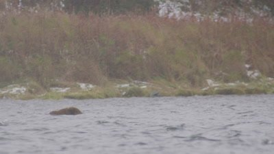 Kodiak brown bear swims and dives in lake for dead salmon.  Bear brings salmon up to the surface to feed on it and cub swims out to get scraps then swims back to shore.  Med.