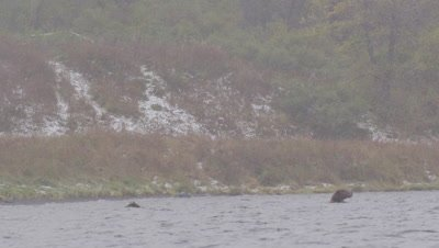 Kodiak brown bear and cub swim in lake during snowstorm and feed on dead salmon that they have dove down to get.  Wide.