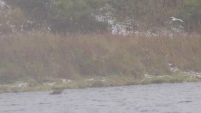 Kodiak brown bear swims in lake during snowstorm.  Bear retrieves a dead salmon off of the bottom and starts to eat it.  Med.