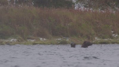 Kodiak brown bear and cub swim in lake during snowstorm and feed on dead salmon they dive down to get.  Mother bear shakes water out of her ears when she surfaces.  Med.