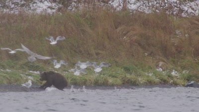 Kodiak brown bear cub eats scarp of salmon on shoreline during snowstorm with seagulls flying over it.  Med-Wide.