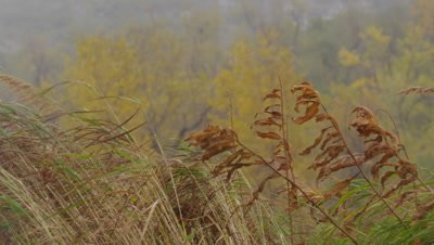 Scenic - Golden fall vegetation blowing in the wind during a stormy day.  Med.