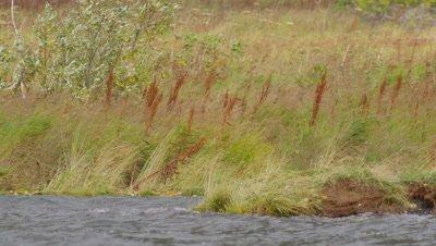 Kodiak brown bear walks into frame along grassy shoreline on windy day and looks out over frame.  Med.  Bear leaves frame.