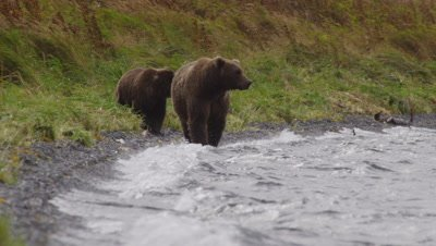 Kodiak brown bear and mother walk towards camera along lakeshore on very windy day.  Mother bear is looking into the water for salmon while walking.  Waves break on the shore.  Mother bear looks intently off frame and starts to walk into the water.  Med.