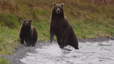 Kodiak brown bear and mother walk towards camera along lakeshore on very windy day.  Mother bear is looking into the water for salmon while walking.  Waves break on the shore.  Bears spot another bear off camera and veer off into the tall grass.  Slow Motion.  Med.