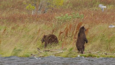 Mother Kodiak brown bear and cub stand on shoreline of wavy lake on very windy day.  Tall fall grasses wave in the wind behind the bears while seagulls fly around the bears looking for scraps.  Med-Wide.