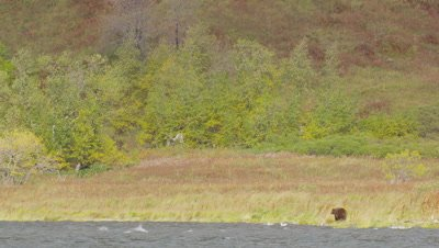 Mother Kodiak brown bear and cub walk along shoreline on very windy day.  Bears walk through tall fall grasses while a mountainside with green and golden vegetation rises behind them.  Waves break in the lake while seagulls ride the winds above the bears.  Wide.