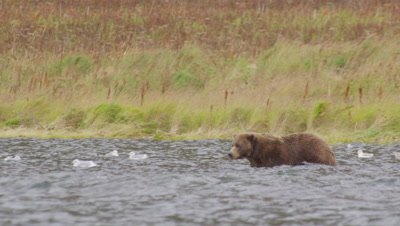 Kodiak brown bear wades through lake with tall fall grass blowing in the background.  As the bear wades through the shoulder-high water the bear puts it's nose and eyes underwater, looking for dead salmon on the lake bottom.  Med.