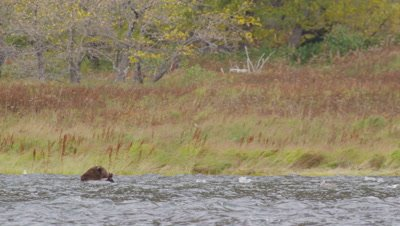 Koxdiak brown bear, with only it's head above the surface, swims in a lake and eats a salmon carcass that the bear scavenged from he bottom of the lake.  Tall fall grasses and foliage in background.  Very windy day…waves break in the lake.  Wide.