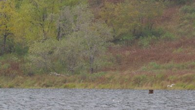Kodiak brown bear, with only it's head visible, swims in lake looking on the bottom for dead salmon.  Tall fall grasses and foilage in background.  Very windy day.  Wide.
