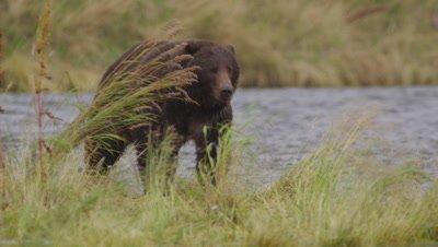 Kodiak brown bear walks towards camera through grass on edge of stream.  Bear rushes and leaps into the creek, grabbing a Sockeye salmon.  Bear carries salmon back onto shore, leaving frame.  Slow Motion.  Close.