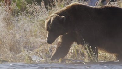 Backlit kodiak brown bear walks through water on edge of creek on steamy morning.  Bear looks for salmon in the stream as it walks in front of frosty fall grass.  Close.