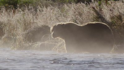 Backlit kodiak brown bear stands in stream near shore on steamy morning.  Steam rises off the water in the foreground while the bear stands in front of tall frosty grass.  Slow Motion.  Med.