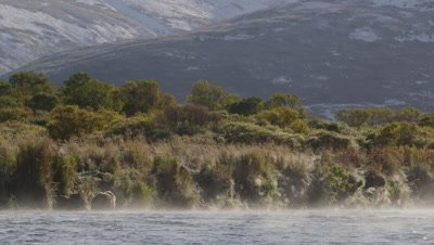 Kodiak brown bear walks through river along bank on steamy morning.  As steam rises off the river the bear passes in front of a verdant shoreline with green and golden foliage.  Wide.