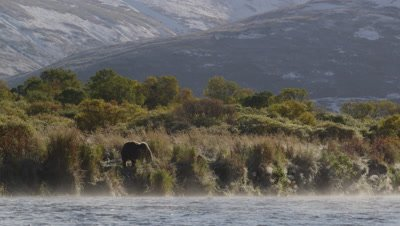 Kodiak brown bear stands on bank above river along bank on steamy morning.  As steam rises off the river the bear passes in front of a verdant shoreline with green and golden foilage.  Bear starts walking through grass.  Wide.