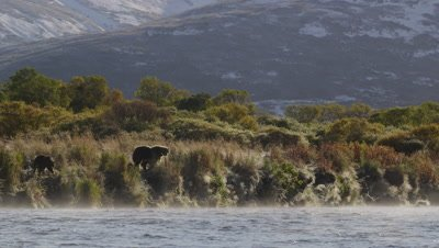 Kodiak brown bear and cub stand on bank above river along bank on steamy morning.  As steam rises off the river the bear passes in front of a verdant shoreline with green and golden foilage.  Bear starts walking through grass.  Wide.
