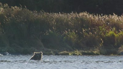 Backlit Kodiak brown bear floats/swims in lake putting his head into water to look for dead salmon on the lake bottom.  Background is backlit tall grasses.  Med.
