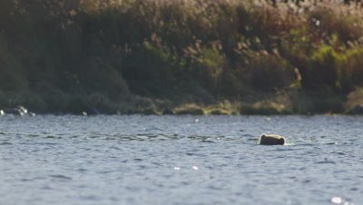 Kodiak brown bear swims across a lake towards the camera with only it's head and back visible.  Bear is putting its face into the water while its swims to look for dead salmon on the lake bottom.  Med.