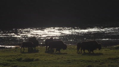 Group of bison cows and calves graze next to  the Yellowstone River , backlit with golden light and verdant grass.  Medium shot.