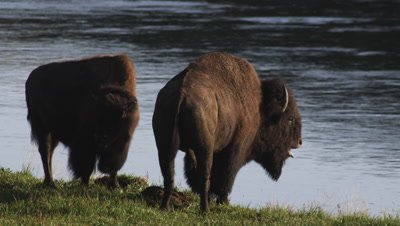 Bison bull and bison cow stand along bank of Yellowstone river in morning light.  Bull bellows repeatedly.