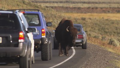 Bison walk down road through stopped vehicles. Medium shot.
