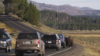 Bison walk down road through stopped vehicles.  Medium-wide.