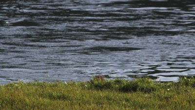 Bison bull climbs out of Yellowstone river onto bank.  Tight Shot.