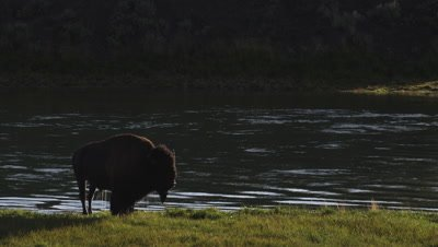Bison bull shakes water out of its coat and bellows.  Backlit with golden light.