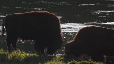 Two young bison bulls play on shore of Yellowstone River.  Med Tight shot.  Backlit with golden light, sparkling river in background, backlit insects flying in foreground.