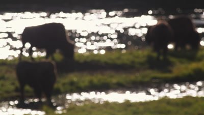 Bison graze in front of the Yellowstone River.  Medium shot with blurred focus.  Backlit with golden light, sparkling river in the background.