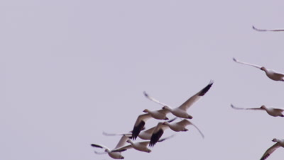 Group of snow geese flies together .  Med-tight shot.  Overcast sky.  Leave frame.