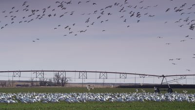 Large flock of snow geese grazing in green barley field.  Other birds fly above.  Med-Wide