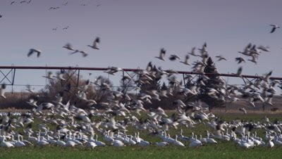 Flock of snow geese takes off together from green barley field.  Irrigation gear and home in background.  Med.