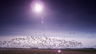 Wide shot of flock of hundreds of snow geese taking off en masse and flying overhead.  Many, many birds.